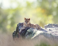 female African Lion  resting