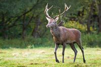 Muddy and wet red deer stag coming closer on a green meadow in summertime.