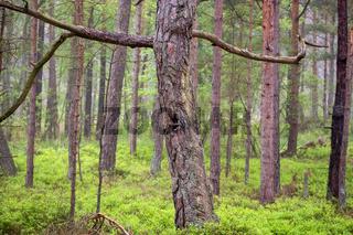 Darsser Wald 002. Fischland Darss Zingst. Deutschland