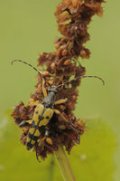 Black-and-yellow longhorn beetle