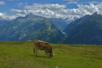 Zillertaler alps, grazing cow, view to the stillup valley near Mayrhofen, austria, europe