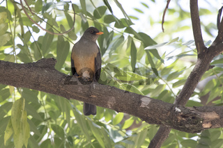 Olive thrush that sits on a tree branch in the shade of leaves on a hot African day