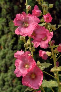 feigenblättrige Stockrose (Alcea ficifolia),Hollyhock.jpg