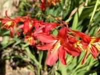 Carmine Brilliant flowers