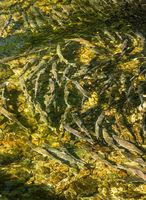 Spawning Chinook Salmon in low water levels, Ketchikan Creek, Alaska, USA.