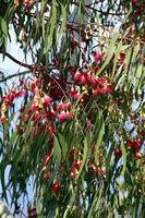 red flowers on Eucaplyptus tree