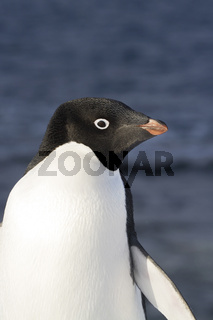 portrait of Adelie penguin standing on a slope against the background of the ocean off the coast of Anatrktika