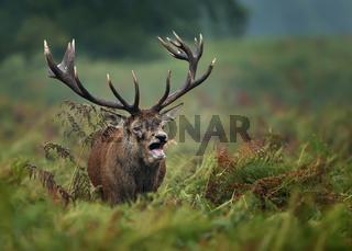 Red deer roaring during rut