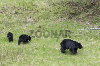 Black bear family in Yellowstone.