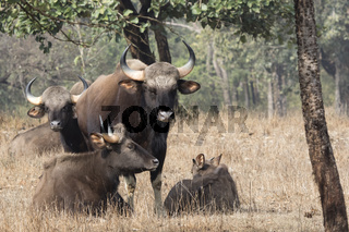 small group of gaurs or Indian bison who rests on a small forest glade