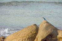 A lone white collar kingfisher perched on a large shore side rock and a sea crab sat a top another