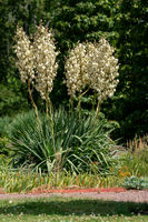 yucca filementosa blooming in bright sunshine