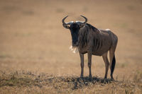 Blue wildebeest stands eyeing camera in sunshine