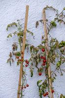 Tomaten wachsen vor einer Hauswand