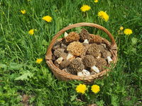 Basket with true morels (Morchella esculenta)