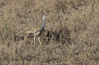 White-billied Bustard that stands among the dry high grass and bushes in the African savannah