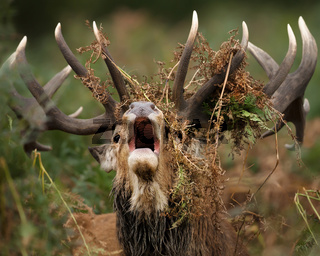 Close up of a red deer stag bellowing