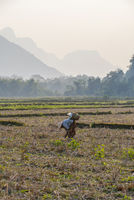Woman picking plants on the field, Laos