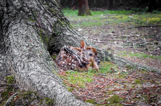 Sika fawn deer in Nara Park forest, Japan
