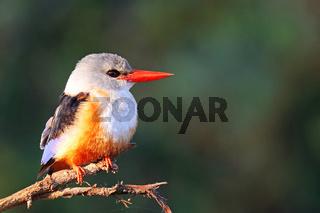 Graukopfliest, South Luangwa Nationalpark, Sambia, (Halcyon leucocephala)  |  grey-headed kingfisher, South Luangwa NP, Zambia, (Halcyon leucocephala)