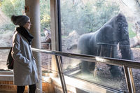 Woman watching huge silverback gorilla male behind glass in Biopark zoo in Valencia, Spain