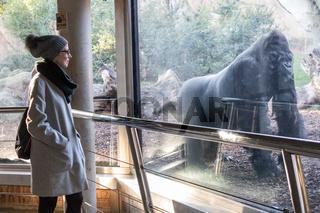 Woman watching huge silverback gorilla male behind glass in Biopark zoo in Valencia, Spain