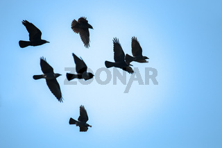Flying rooks and jackdaws