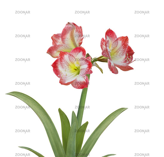 Amaryllis flower on white background