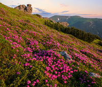 Pink rose rhododendron flowers on early morning summer mountain slope, Carpathian, Ukraine.