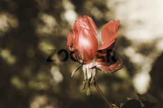 Rose flower in winter