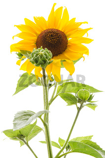 Yellow sunflower isolated on a white background.