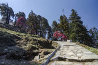 Colourful Tree enroute to Tungnath Shiva Temple, Chopta, Garhwal, Uttarakhand, India