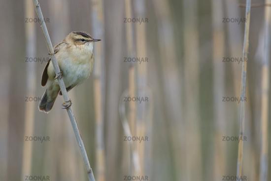 Sedge warbler in Hungary