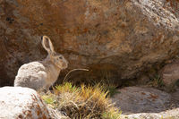 Tibetan Hare, woolly hare , Lepus oiostolus, Jammu and Kashmir, India.