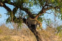 Leopard leaving his tree