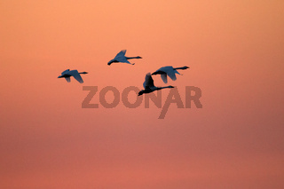 Flying swans against dramatically sunset sky. Two Bewick's swans