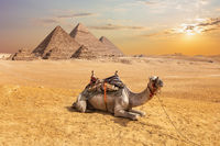 Cute camel in front of the Egyptian Pyramids, Giza desert
