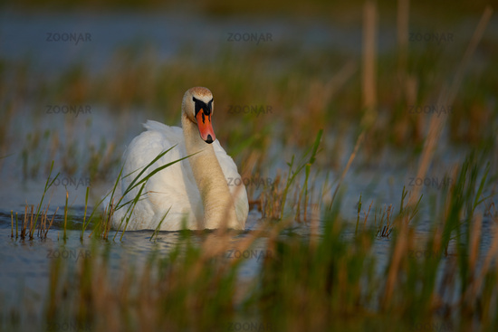 Mute swan with  in Hungary