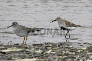 dulnin and gray-tailed tattler standing on the shallow bank of the river on a cloudy day