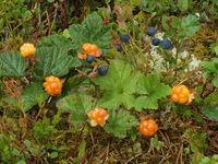 Cloudberries and blueberries in Scandinavia