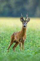 Strong roe deer buck with big antlers facing camera on green field in summer