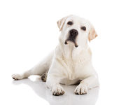 Labrador dog lying on floor