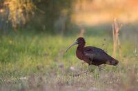 Glossy ibis Algarve