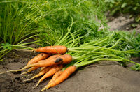 Just picked carrots on the garden soil closeup view