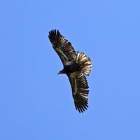 American bald eagle (Haliaeetus leucocephalus), young bird in flight from below, Pelm