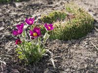 blossom of the pulsatilla vulgaris in garden
