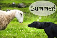 Dog Meets Sheep, Text Summer, Wild Nature