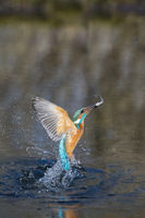 European Common Kingfisher diving, Alcedo atthis, Eisvogel tauchen