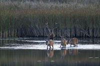 Red Deer male and females cross through a pond