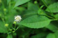 Flower and leaf of lesser teasel, Dipsacus pilosus